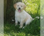 Golden Retriever Puppy For Sale in NORWOOD, MO, USA
