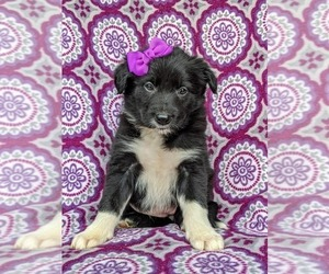 Border Collie Puppy for sale in KIRKWOOD, PA, USA