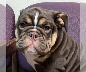 English Bulldogge Puppy for sale in KISSIMMEE, FL, USA