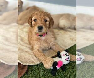 Goldendoodle Puppy for sale in CORAL GABLES, FL, USA