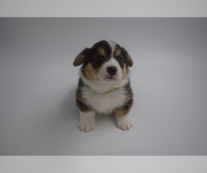 Pembroke Welsh Corgi Puppy for sale in VALLEJO, CA, USA