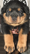 Rottweiler Puppy For Sale in ANTIOCH, California,