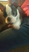 Boston Terrier Puppy For Sale in SALEM, OR, USA