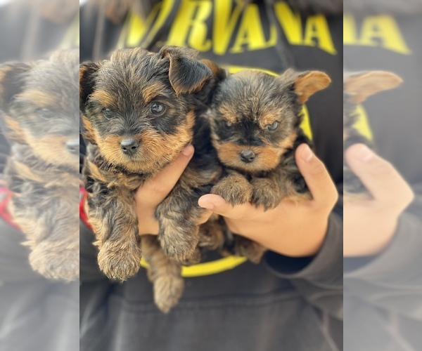 Medium Photo #1 Yorkshire Terrier Puppy For Sale in MEDFORD, OR, USA