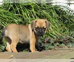 Puppy 4 Puggle