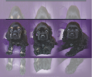 Cocker Spaniel Puppy for Sale in CRYSTAL RIVER, Florida USA