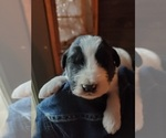 Puppy 6 Pyredoodle