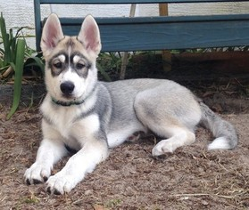 View Ad Siberian Husky Puppy For Sale Near Florida Brooksville