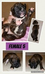 Boxer Puppy For Sale in TROY, VA, USA