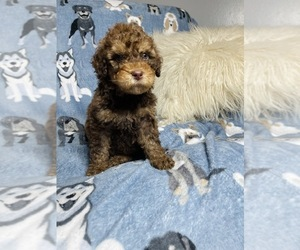 Goldendoodle Puppy for Sale in INDIANAPOLIS, Indiana USA