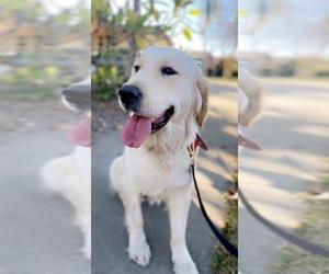 English Cream Golden Retriever Puppy for sale in ANAHEIM, CA, USA