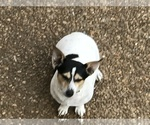 Small #1 Rat Terrier