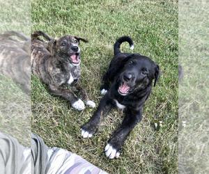 English Shepherd-Labrador Retriever Mix Dog for Adoption in RICHMOND, Michigan USA