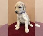 Puppy 9 Goldendoodle-Poodle (Standard) Mix