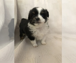 Miniature American Shepherd Puppy for sale in GOLDSTON, NC, USA