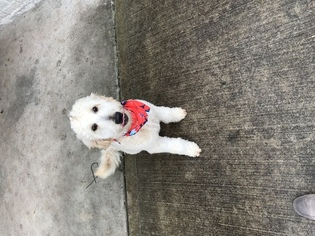 Goldendoodle Puppy For Sale in RICHMOND, TX, USA