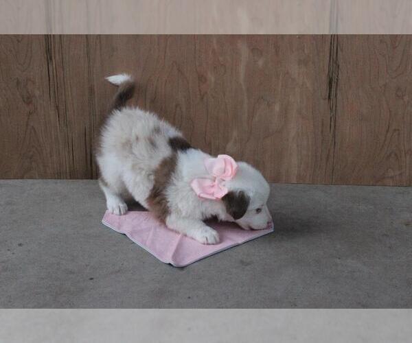 Medium Photo #6 Australian Shepherd Puppy For Sale in MODESTO, CA, USA