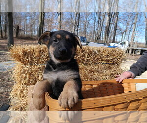 German Shepherd Dog Puppy for sale in CINCINNATI, OH, USA