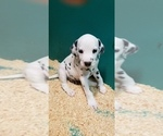 Small Photo #9 Dalmatian Puppy For Sale in DUVALL, WA, USA