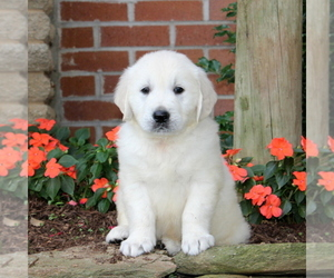 English Cream Golden Retriever Puppy for sale in NEW PROVIDENCE, PA, USA