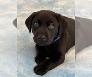 Labrador Retriever Puppy for sale in HEARNE, TX, USA