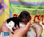 Small Photo #1 Dachshund Puppy For Sale in WINNSBORO, LA, USA