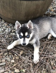 Alaskan Klee Kai Puppy For Sale in AUMSVILLE, OR, USA