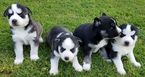 Siberian Husky Puppy For Sale in CABOT, AR