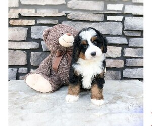 Miniature Bernedoodle Puppy for sale in CLEVELAND, NC, USA