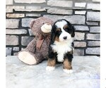 Chance The Mini Bernedoodle