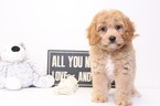 Charm Male Cavapoo Puppy