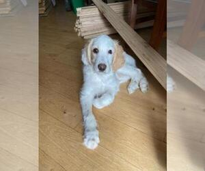 English Setter-Poodle (Standard) Mix Puppy for Sale in FINLAYSON, Minnesota USA