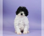 Puppy 10 Poodle (Miniature)