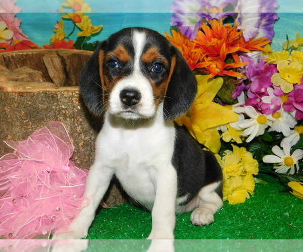 View Ad: Beagle Puppy for Sale near Germany