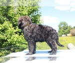 Small #44 Goldendoodle