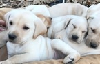 Labrador Retriever Puppy For Sale in BELLS, TX