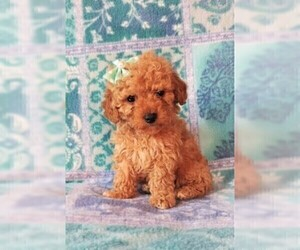 Cavapoo Dog for Adoption in LANCASTER, Pennsylvania USA