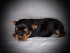 Yorkshire Terrier Puppy For Sale in GRAYSON, LA, USA