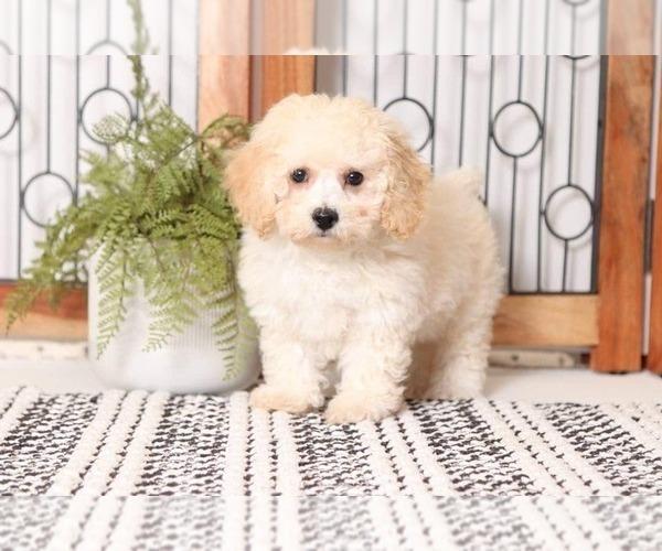 Medium Photo #1 Poochon Puppy For Sale in NAPLES, FL, USA