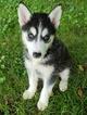 Siberian Husky Puppy For Sale in WARREN, MA, USA