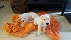 Dogo Argentino Puppy For Sale in HOLLYWOOD, FL, USA