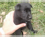 Small #2 Border Collie-Norwegian Elkhound Mix
