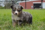Miniature Australian Shepherd Puppy For Sale in STEPHENVILLE, TX, USA