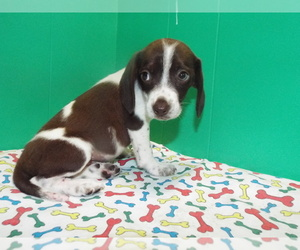 Beagle Dog for Adoption in PATERSON, New Jersey USA