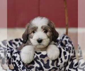 Bernedoodle Puppy for sale in ORRSTOWN, PA, USA