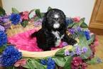 Cavachon Puppies with Hypoallergenic Coats