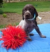 German Shorthaired Pointer Puppy For Sale in SUGARCREEK, OH,