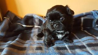 Shih Tzu Puppy For Sale in SAINT JOSEPH, MO, USA