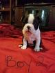 Boston Terrier Puppy For Sale in CONVERSE, TX, USA