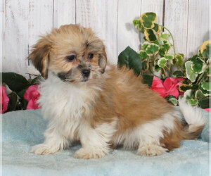 Lhasa Apso Puppy for sale in PENNS CREEK, PA, USA